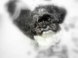 Shih Tzu, Unknown, Black and White